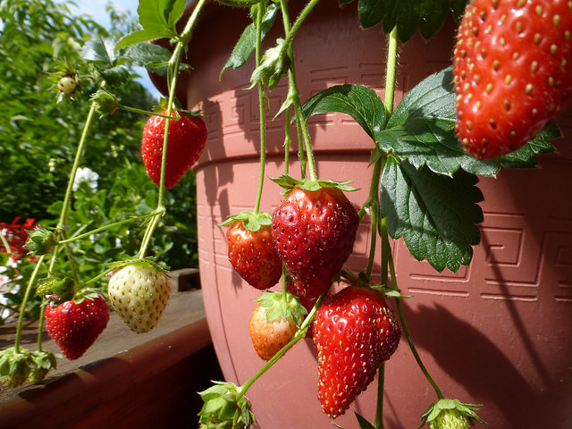 How to Winterize Potted Strawberry Plants