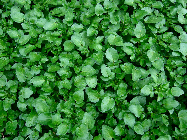 Watercress-How To Grow It